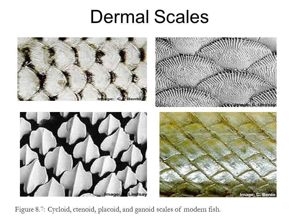 Dermal Scales Figure 8.7: Cycloid, ctenoid, placoid, and ganoid scales of modern fish.