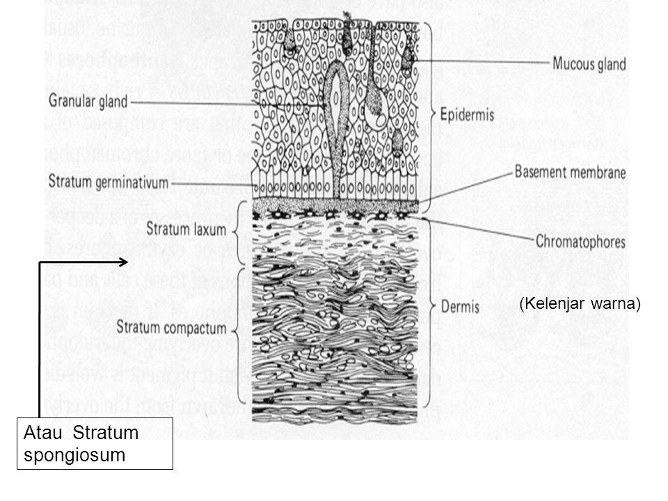 Atau Stratum spongiosum