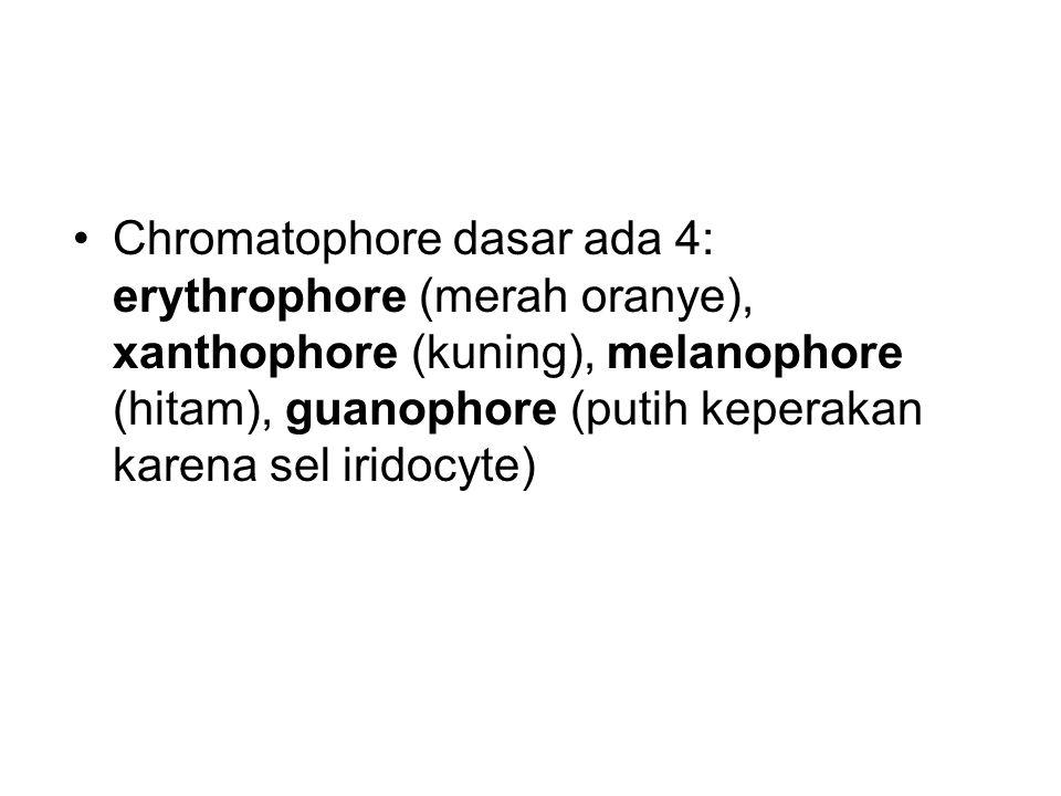 Chromatophore dasar ada 4: erythrophore (merah oranye), xanthophore (kuning), melanophore (hitam), guanophore (putih keperakan karena sel iridocyte)