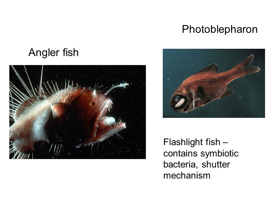 Photoblepharon Angler fish