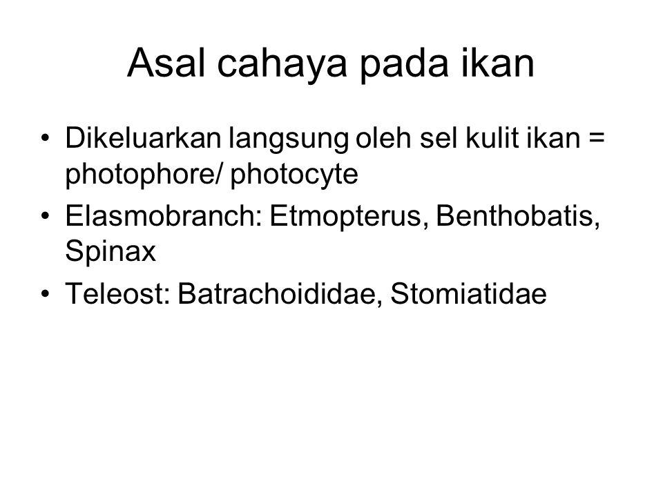 Asal cahaya pada ikan Dikeluarkan langsung oleh sel kulit ikan = photophore/ photocyte. Elasmobranch: Etmopterus, Benthobatis, Spinax.
