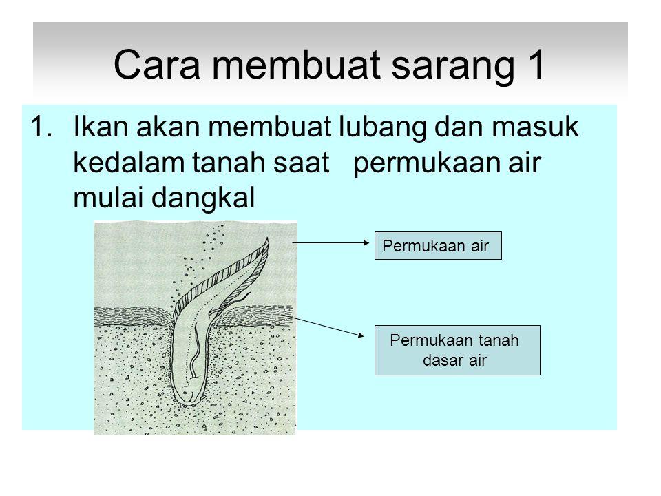 Cara membuat sarang 1 Ikan akan membuat lubang dan masuk kedalam tanah saat permukaan air mulai dangkal.