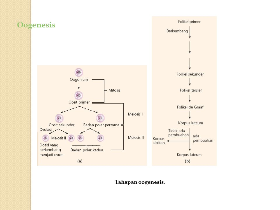Oogenesis Tahapan oogenesis.