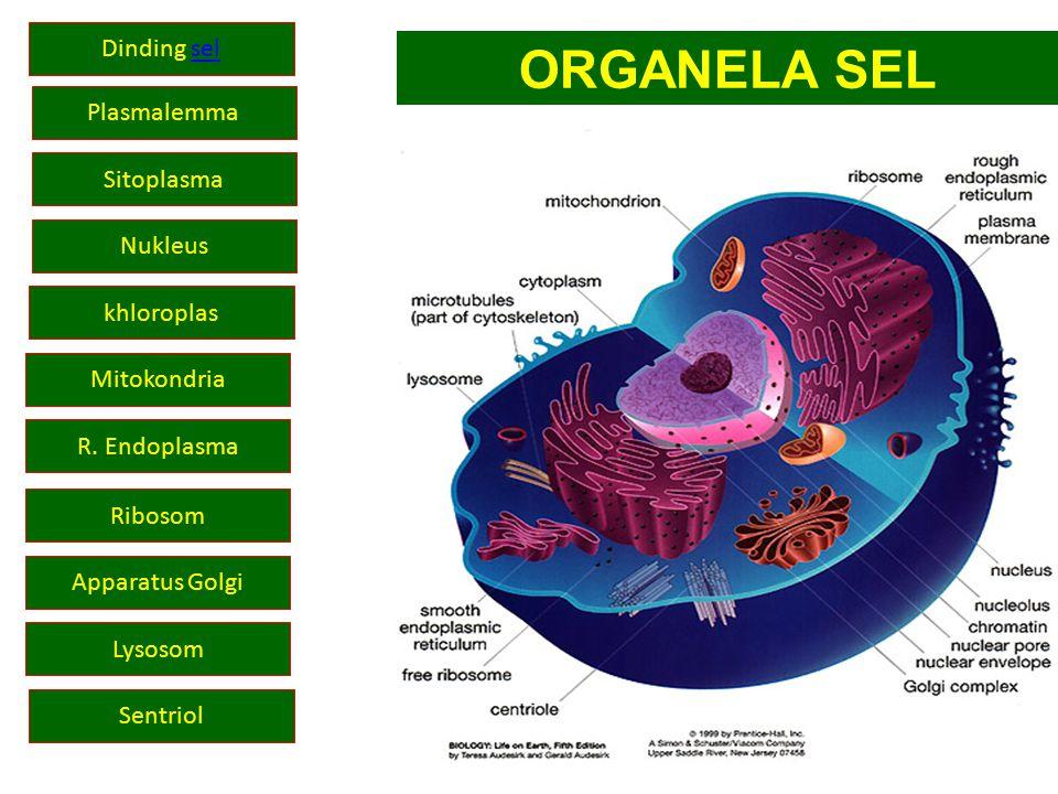 ORGANELA SEL Dinding sel Plasmalemma Sitoplasma Nukleus khloroplas