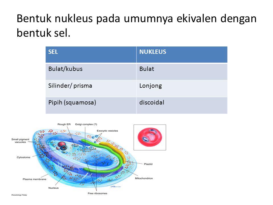 Bentuk nukleus pada umumnya ekivalen dengan bentuk sel.