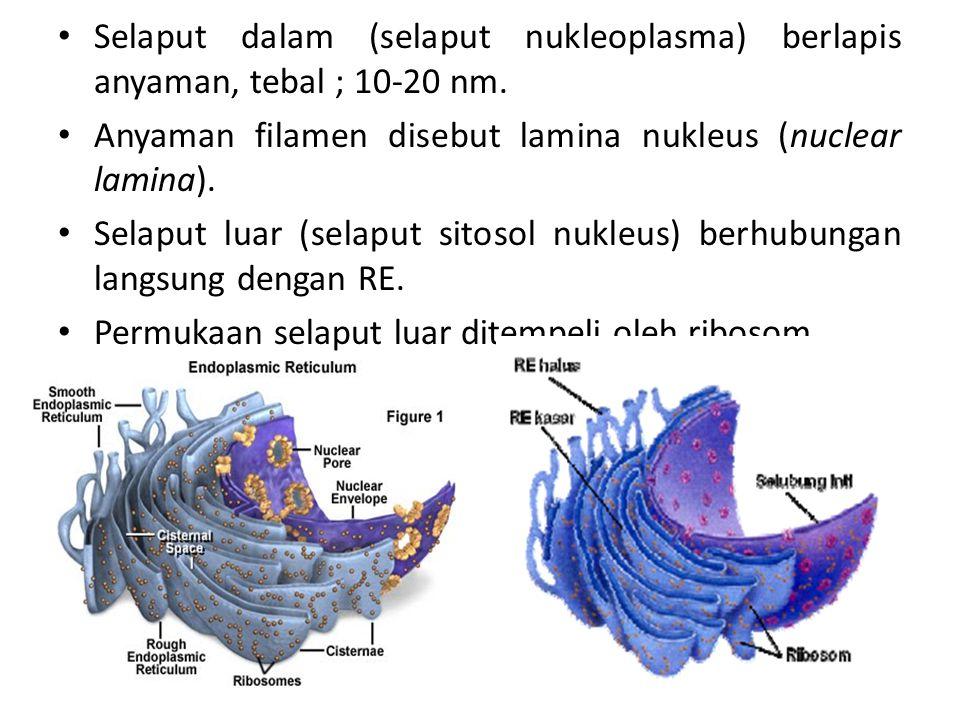 Selaput dalam (selaput nukleoplasma) berlapis anyaman, tebal ; 10-20 nm.