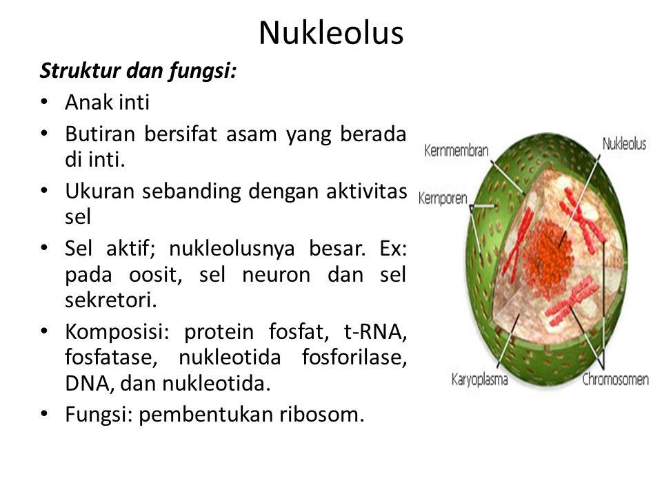 Nukleolus Struktur dan fungsi: Anak inti