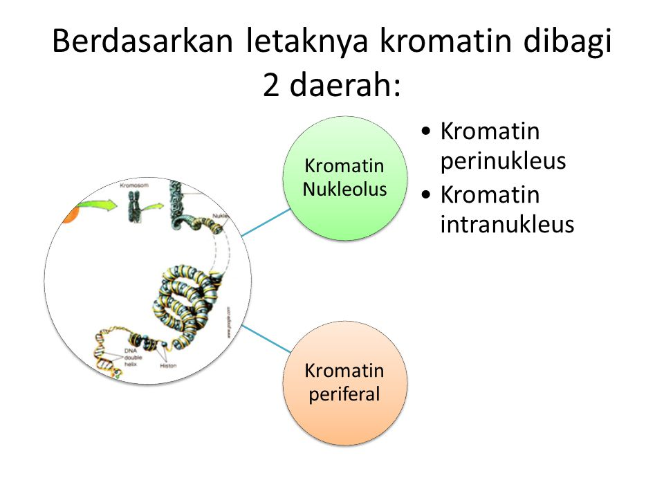 Berdasarkan letaknya kromatin dibagi 2 daerah: