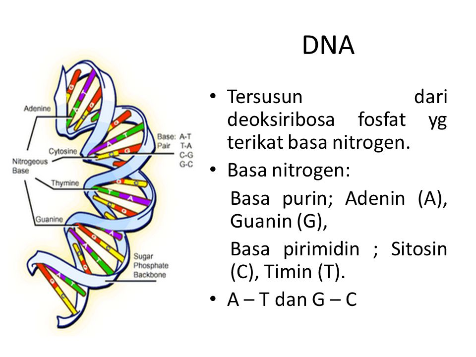 DNA Tersusun dari deoksiribosa fosfat yg terikat basa nitrogen.