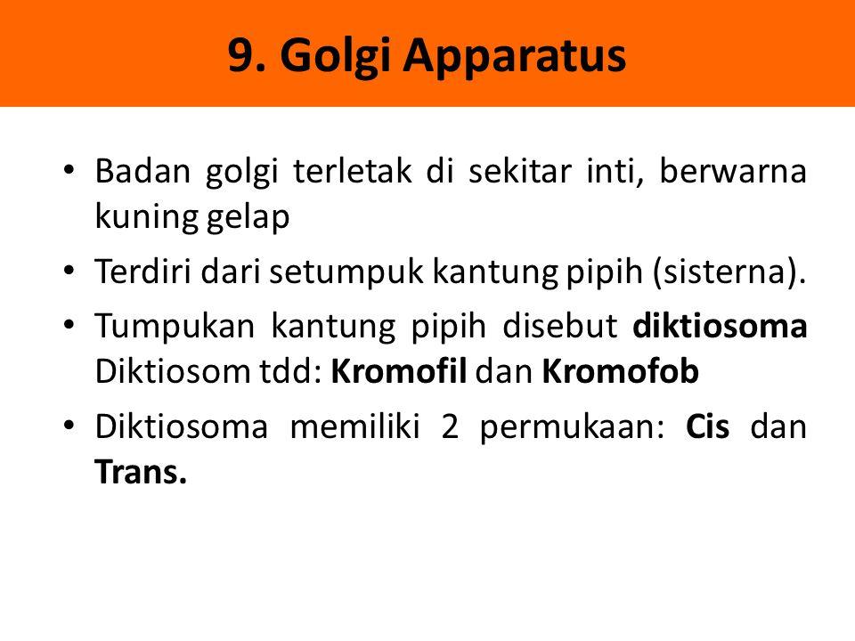 9. Golgi Apparatus Badan golgi terletak di sekitar inti, berwarna kuning gelap. Terdiri dari setumpuk kantung pipih (sisterna).