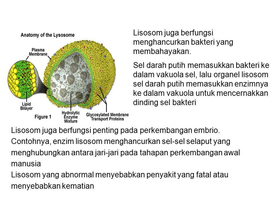 Lisosom juga berfungsi menghancurkan bakteri yang membahayakan.