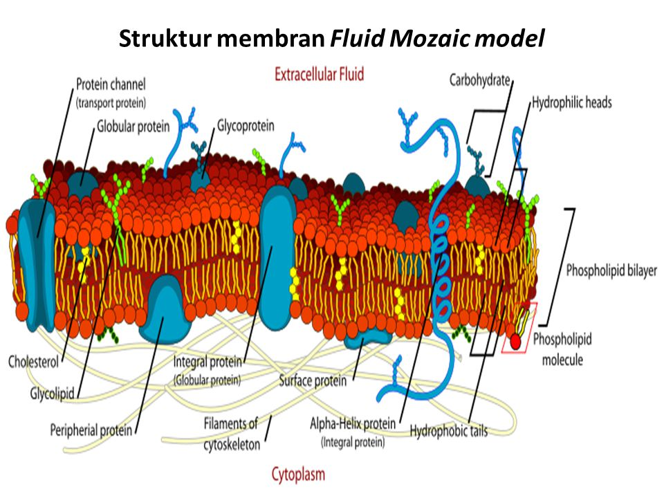 Struktur membran Fluid Mozaic model