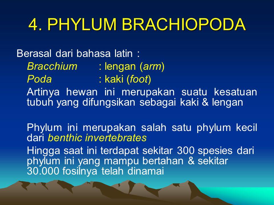4. PHYLUM BRACHIOPODA Berasal dari bahasa latin :