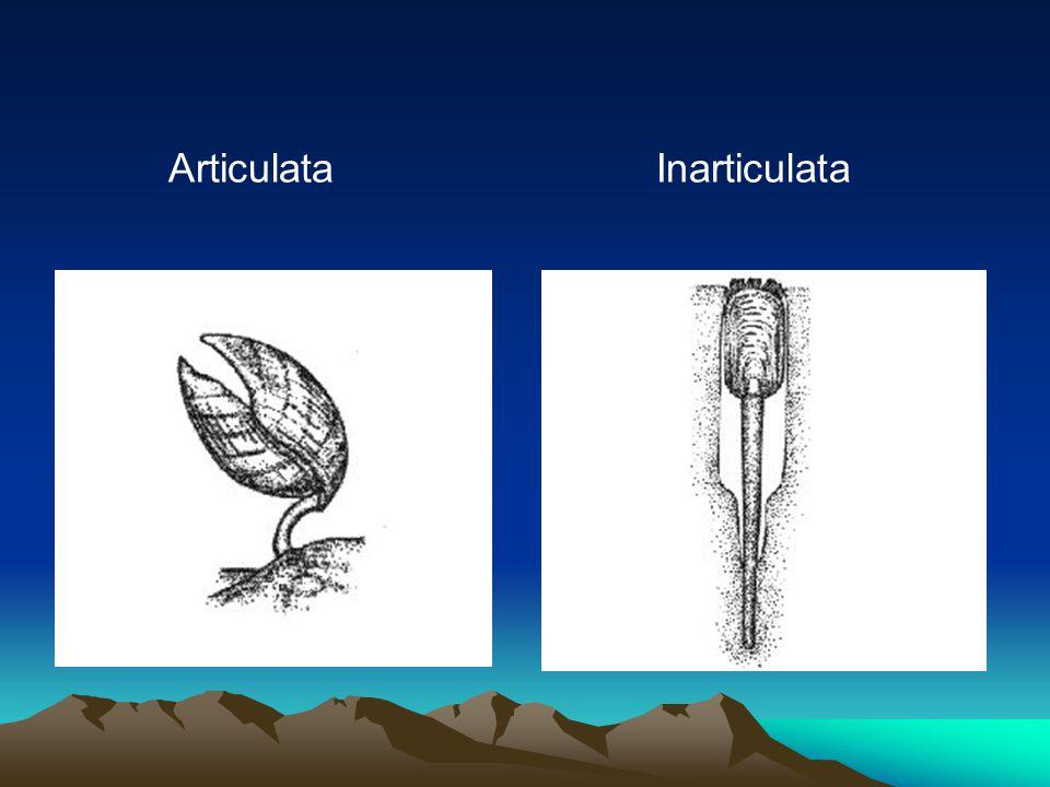 Articulata Inarticulata