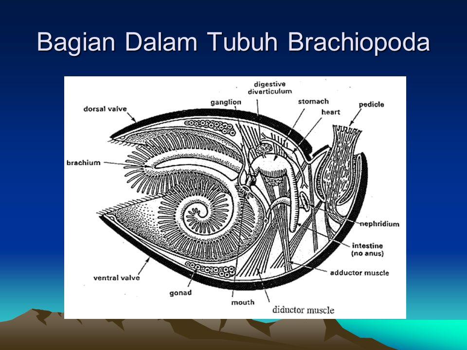 Bagian Dalam Tubuh Brachiopoda