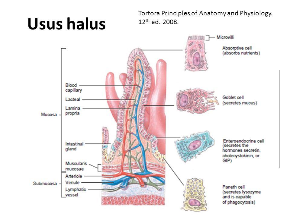 Usus halus Duodenum, jejunum, ileum Plicae circulare (circular fold)