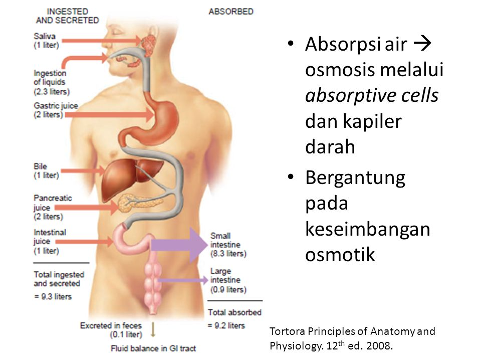 Absorpsi air  osmosis melalui absorptive cells dan kapiler darah