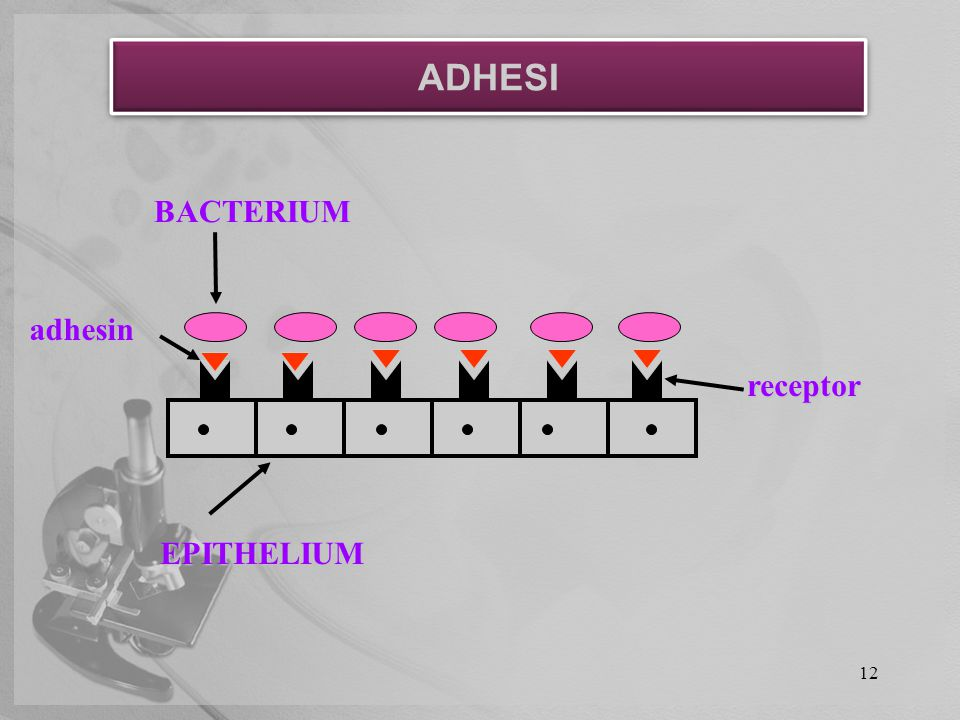 ADHESI BACTERIUM adhesin receptor EPITHELIUM 12 12