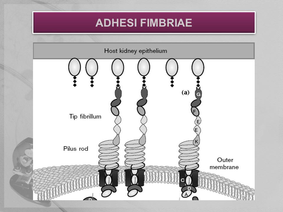 ADHESI FIMBRIAE