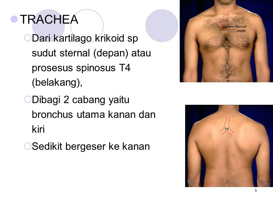 TRACHEA Dari kartilago krikoid sp sudut sternal (depan) atau prosesus spinosus T4 (belakang), Dibagi 2 cabang yaitu bronchus utama kanan dan kiri.