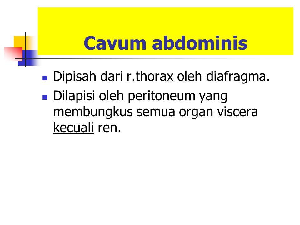 Cavum abdominis Dipisah dari r.thorax oleh diafragma.