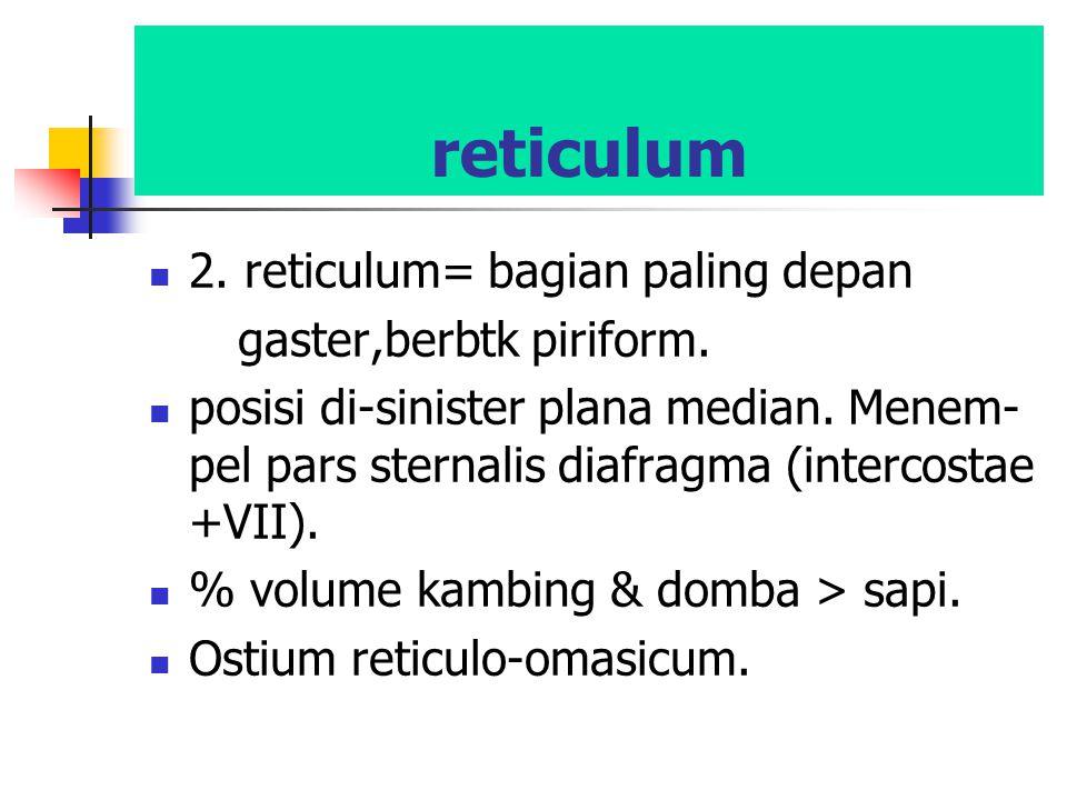 reticulum 2. reticulum= bagian paling depan gaster,berbtk piriform.
