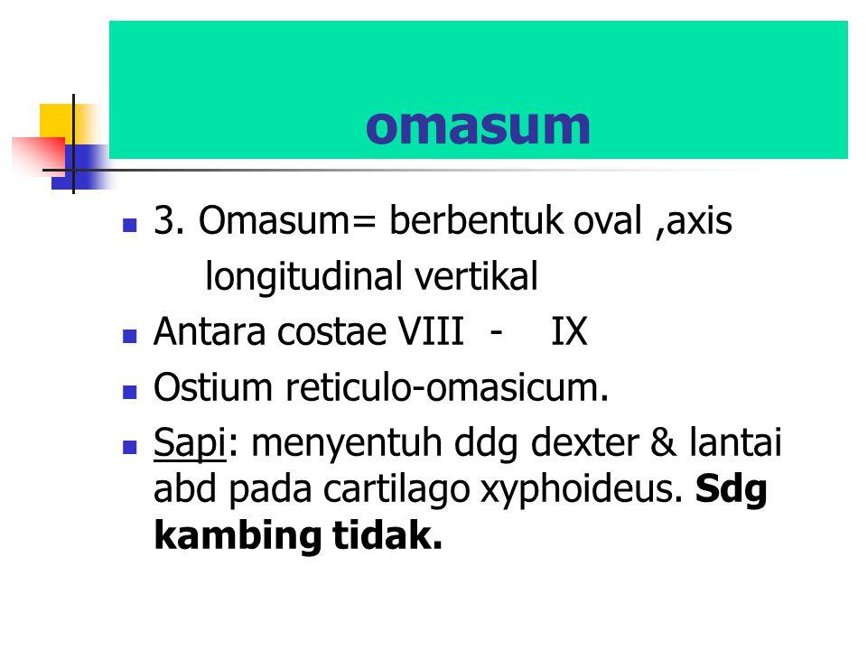 omasum 3. Omasum= berbentuk oval ,axis longitudinal vertikal