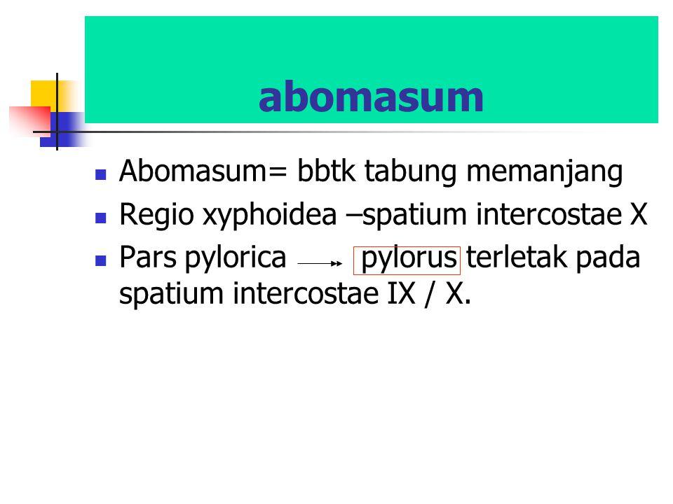 abomasum Abomasum= bbtk tabung memanjang