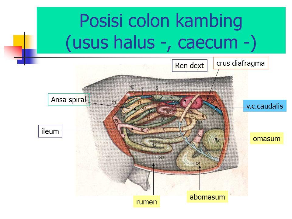 Posisi colon kambing (usus halus -, caecum -)
