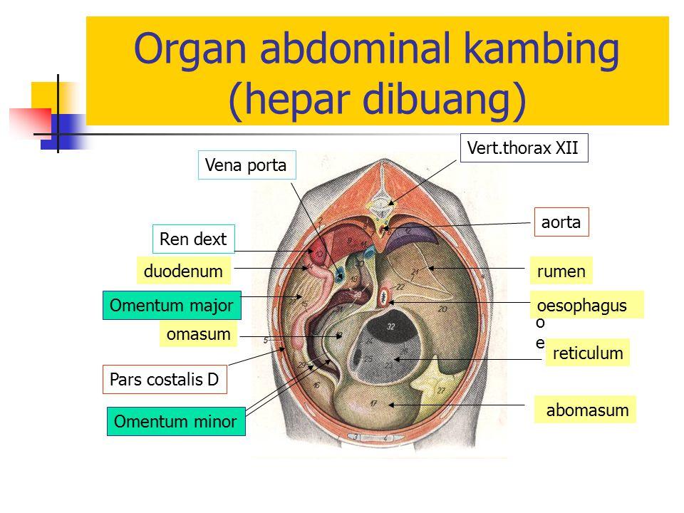 Organ abdominal kambing (hepar dibuang)