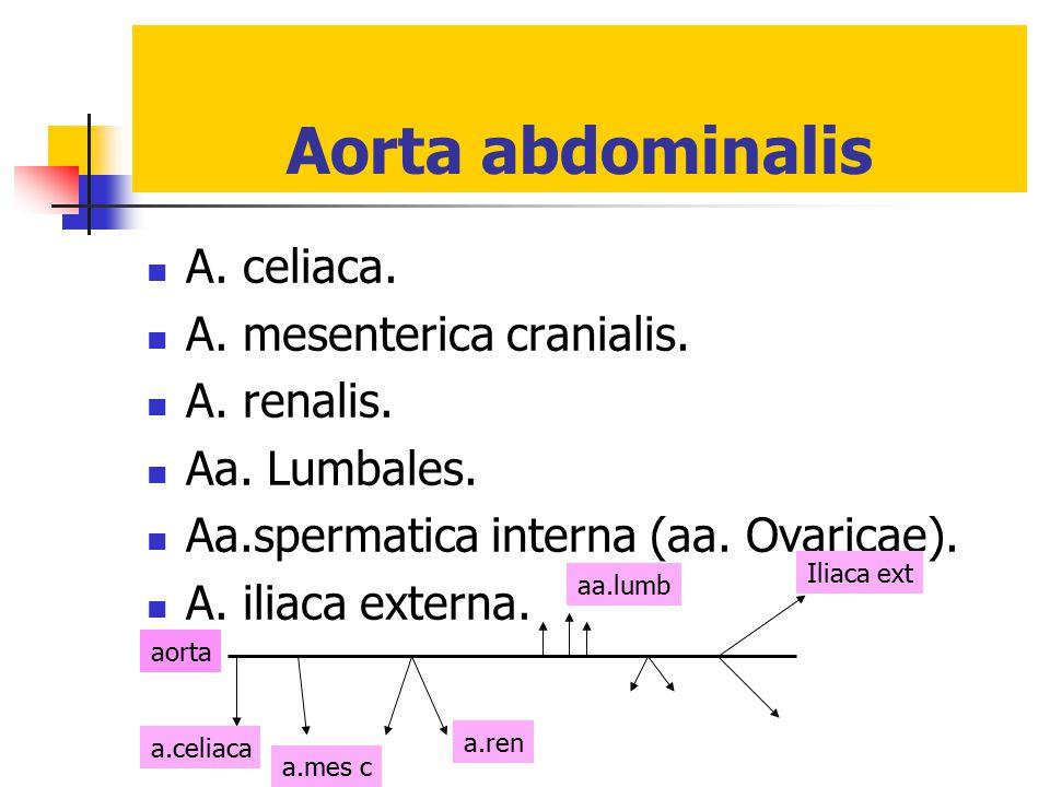 Aorta abdominalis A. celiaca. A. mesenterica cranialis. A. renalis.
