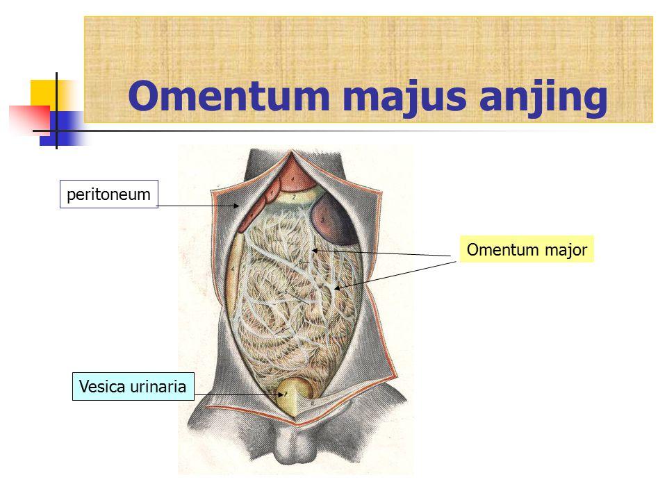 Omentum majus anjing peritoneum Omentum major Vesica urinaria