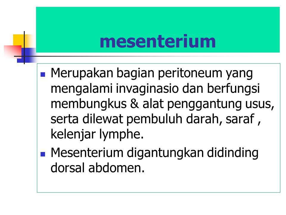 mesenterium