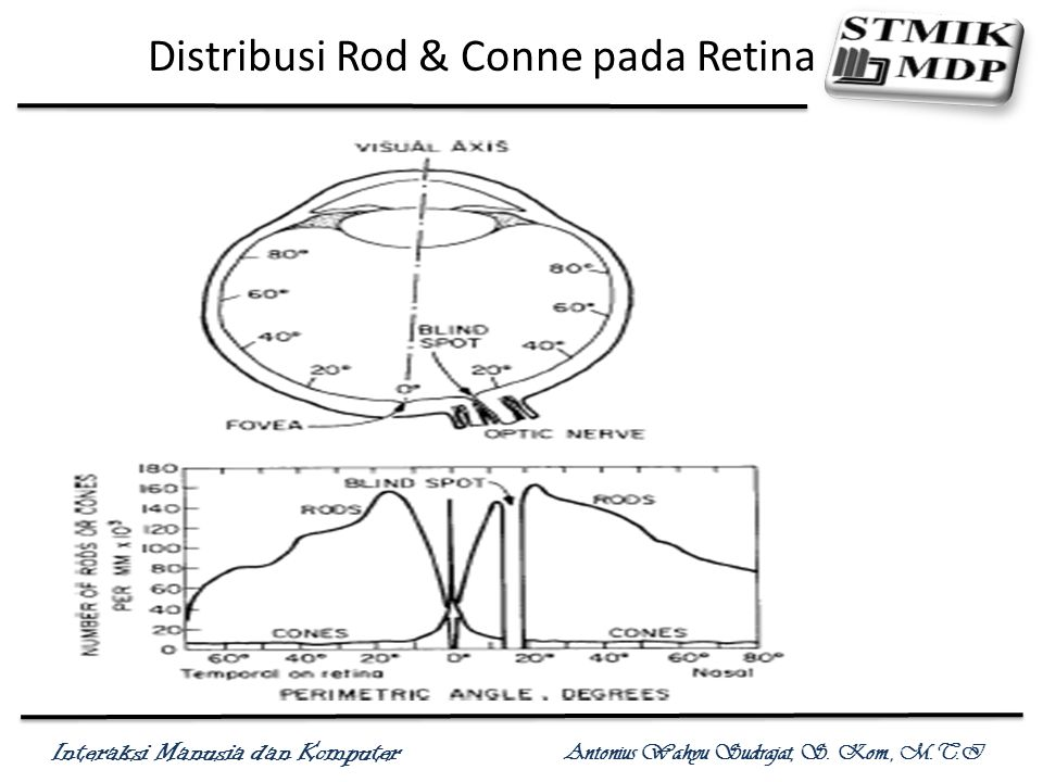 Distribusi Rod & Conne pada Retina