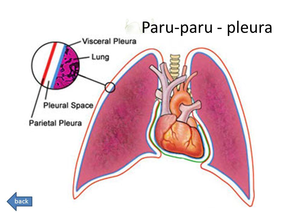 Paru-paru - pleura Pleural space: berisi cairan limfatik back