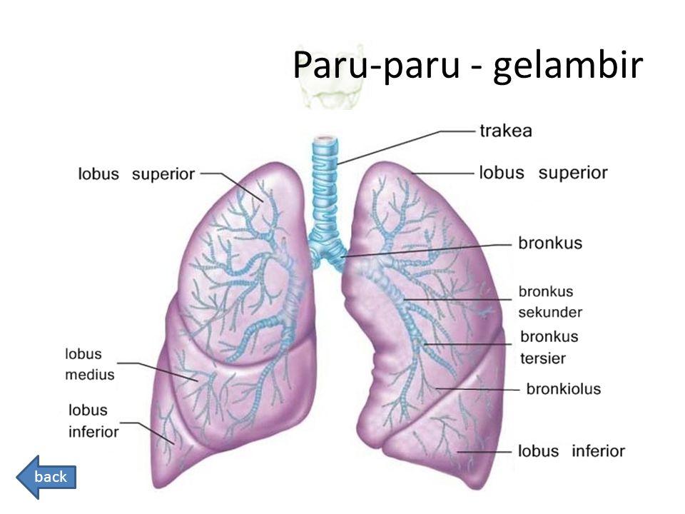 Paru-paru - gelambir back