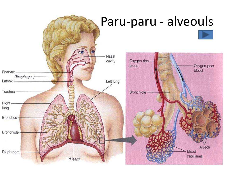 Paru-paru - alveouls Setiap paru-paru orang dewasa terdapat kurang lebih 300juta alveoli