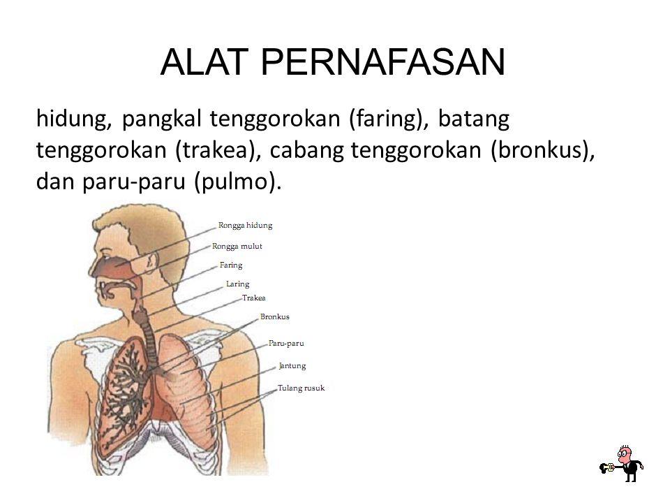 ALAT PERNAFASAN hidung, pangkal tenggorokan (faring), batang tenggorokan (trakea), cabang tenggorokan (bronkus), dan paru-paru (pulmo).