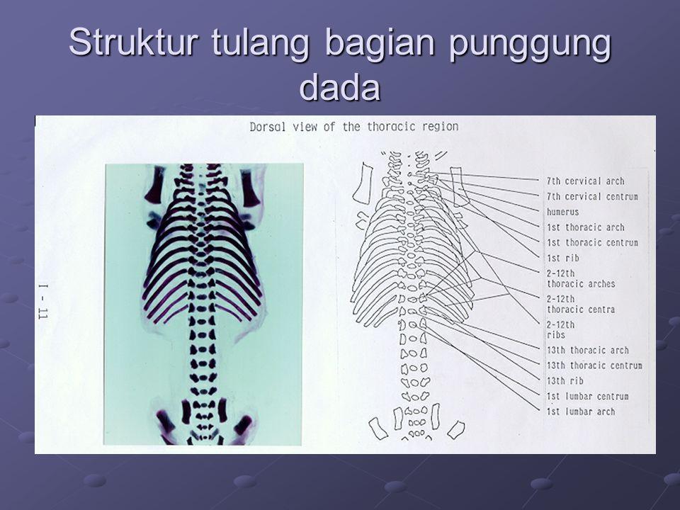 Struktur tulang bagian punggung dada