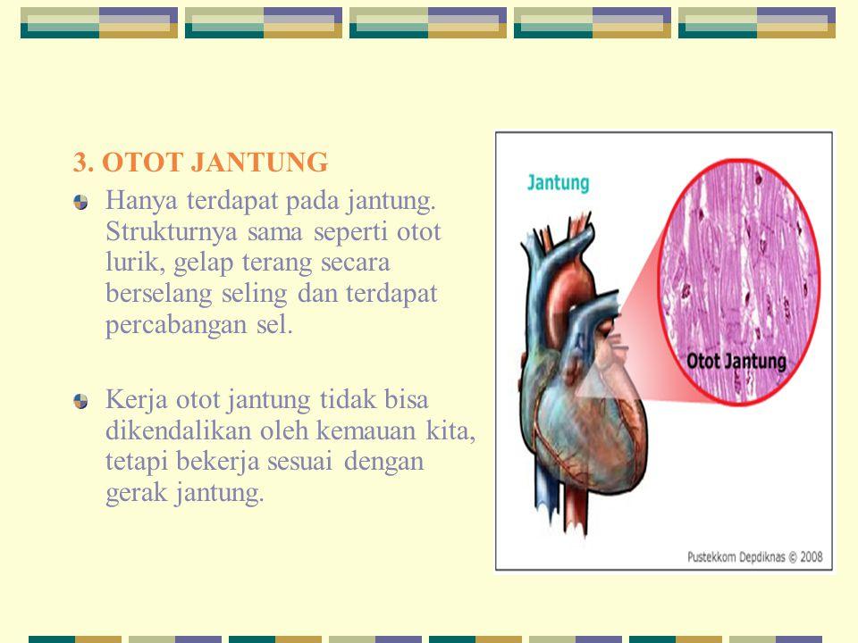 3. OTOT JANTUNG Hanya terdapat pada jantung. Strukturnya sama seperti otot lurik, gelap terang secara berselang seling dan terdapat percabangan sel.