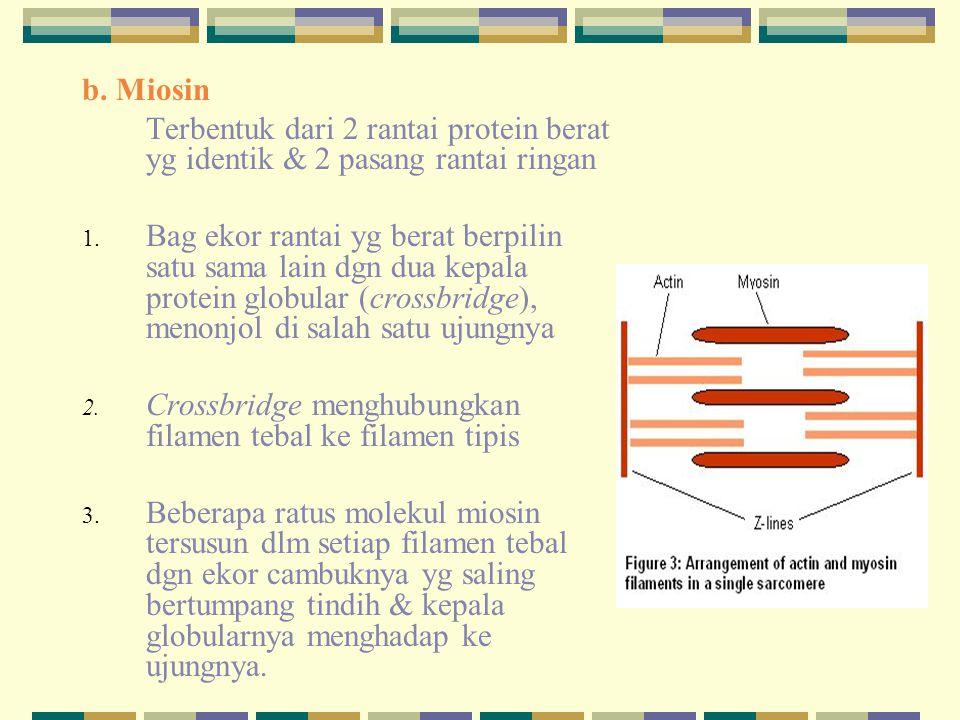 b. Miosin Terbentuk dari 2 rantai protein berat yg identik & 2 pasang rantai ringan.