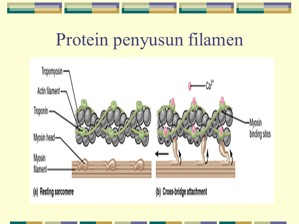 Protein penyusun filamen