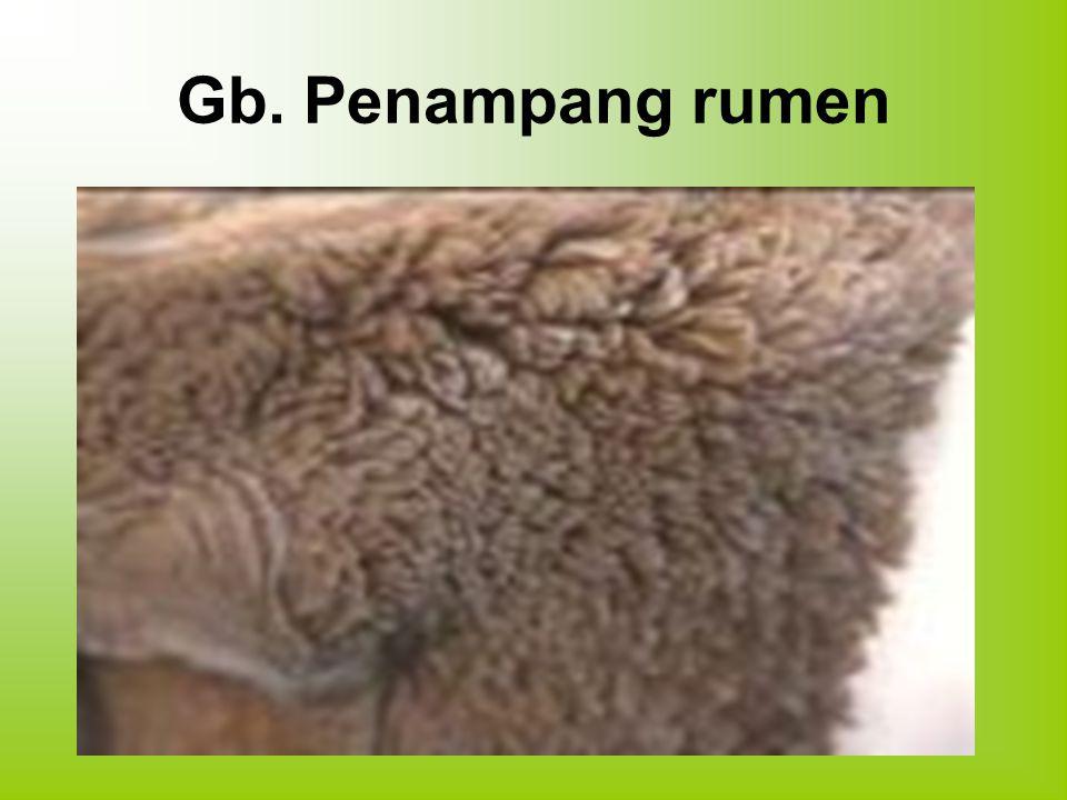 Gb. Penampang rumen