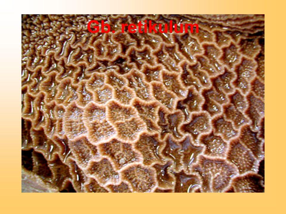 Gb. retikulum