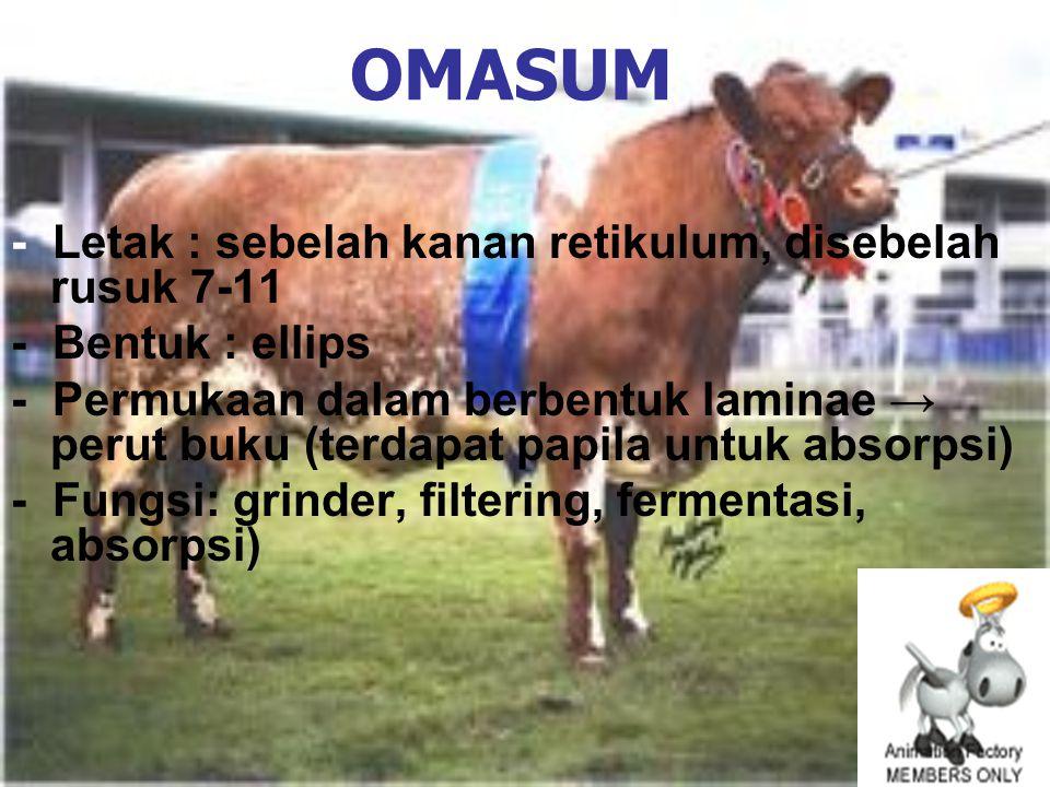 OMASUM - Letak : sebelah kanan retikulum, disebelah rusuk 7-11