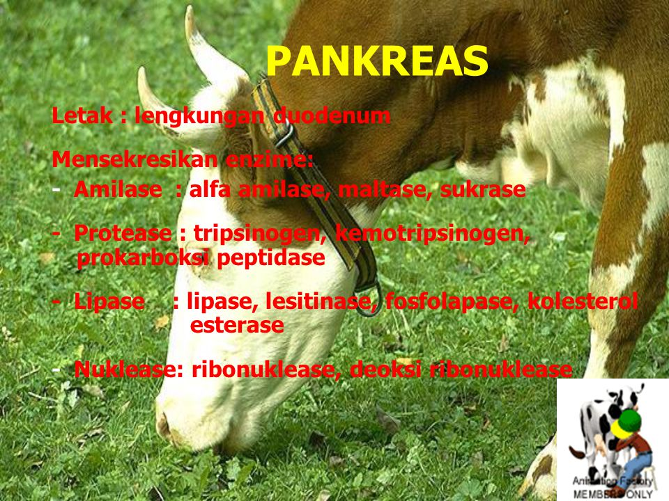 PANKREAS Letak : lengkungan duodenum Mensekresikan enzime: