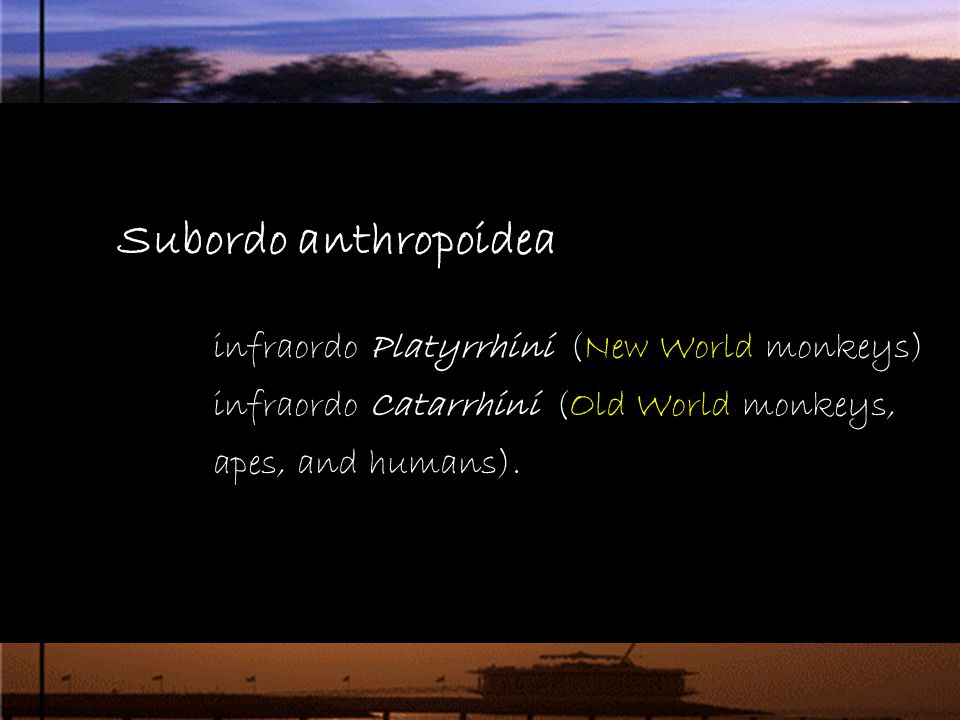 Subordo anthropoidea.