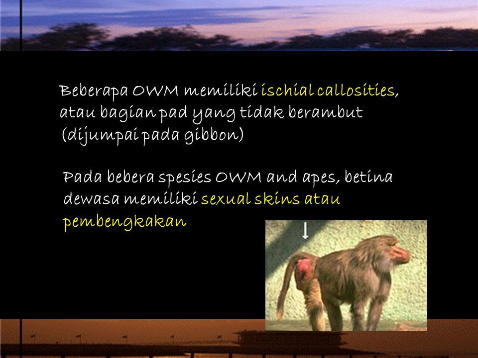 4/12/2017 Beberapa OWM memiliki ischial callosities, atau bagian pad yang tidak berambut (dijumpai pada gibbon)
