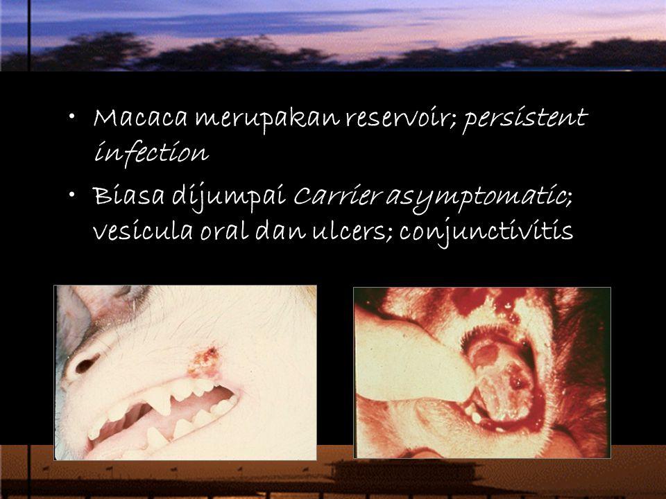 Macaca merupakan reservoir; persistent infection