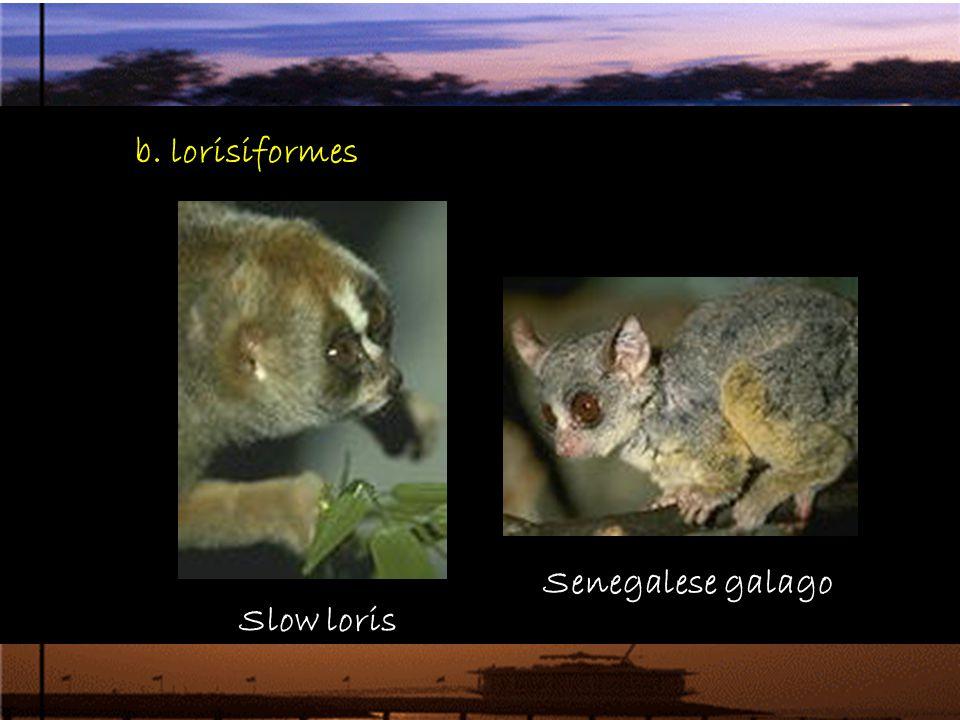 b. lorisiformes Senegalese galago Slow loris